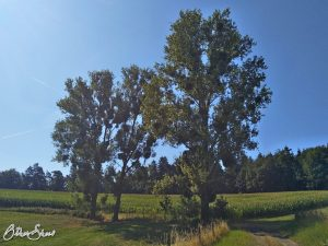 Misteln in den Bäumen bei Walrode.