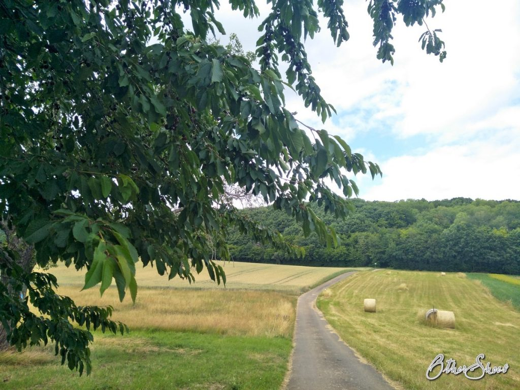 Kirschbaum im Feld.