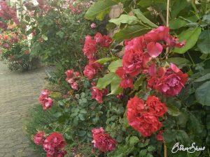 Tag der Rosen. Aufnahme aus Duchroth.