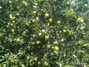 Streuobstwiesen auf der 1. Etappe des Spessartbogens: Apfelbäume tragen 2020 Früchte ohne Ende.
