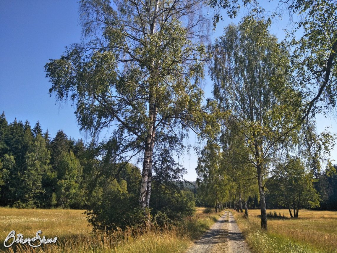 Bachmannallee - ein Feldweg mit Birken.