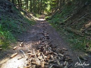Rinne aus Zapfen mitten im Wald.