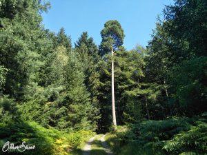 Hoher Baum auf dem Weg nach Bad Orb.