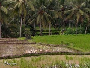 Im Gänsemarsch durchs Reisfeld