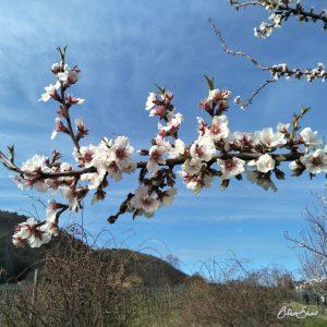 Mandelblüte in der Pfalz.