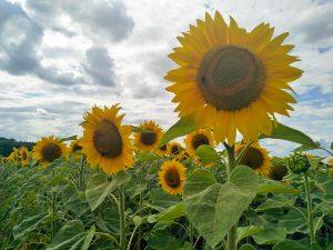 Sonnenblumen auf dem Spessartbogen.