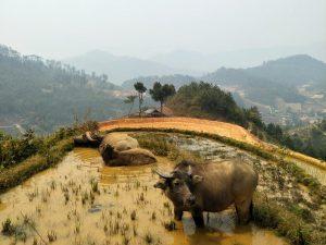 Bad im Wasserbüffelparadies.